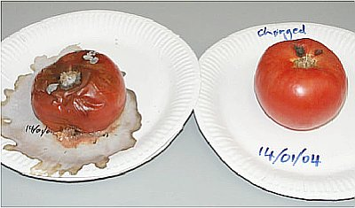 Day 12 Tomato Study