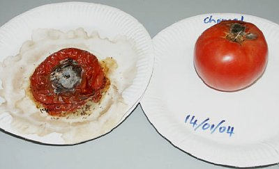 Day 20 Tomato Study