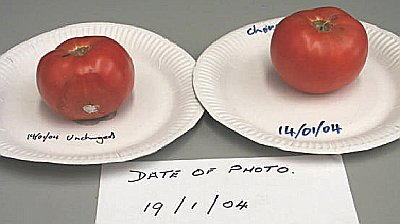 Day 4 tomato study