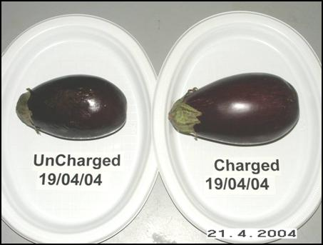 Eggplants side by side - 2nd day
