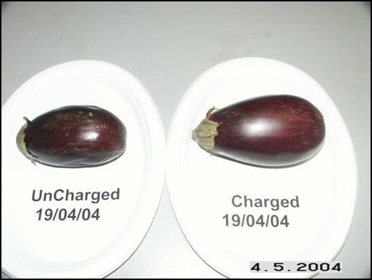 Eggplants May 4, 2004