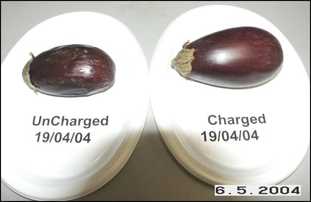 Eggplants May 6, 2004