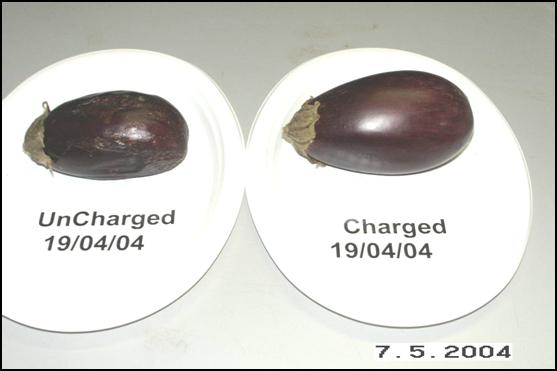 Eggplants May 7, 2004