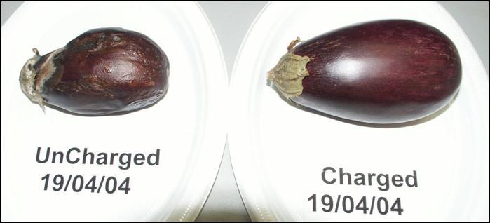 Eggplants May 11, 2004