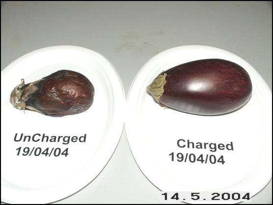 Eggplants May 14, 2004
