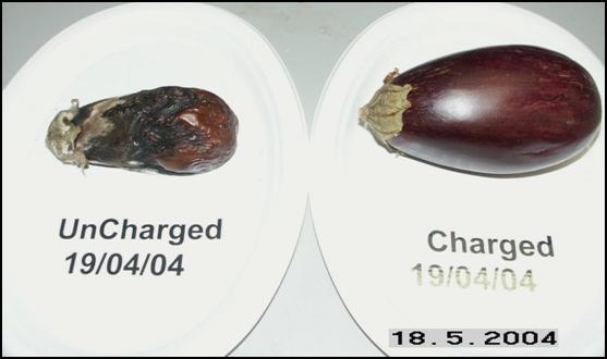 Eggplants May 18, 2004